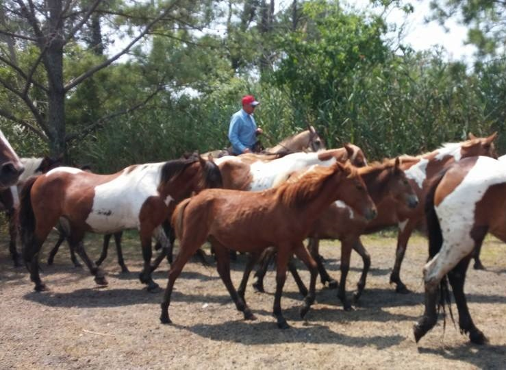 What is Pony Penning Day